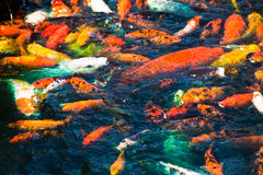 Colorful Fish Swimming in Dark Water Royalty Free Stock Image