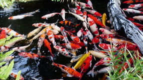 Japanese carp  in  pond. Colorful fish swimming in the pond to calm the audience Stock Photo