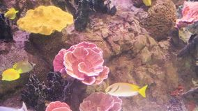 Colorful fish swimming through reef. Colorful fish swimming through coral reef stock video