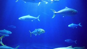 Colorful fish swimming. Colorful fish swim by a coral reef stock video footage