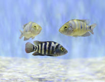 Colorful Fish Swimming Underwater Royalty Free Stock Images