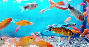 Colorful fish tropical in the aquarium with blue water and real environment, flowing with slow. Motion, concept of stock video footage