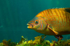 Colorful fish underwater. Side view of colorful fish swimming underwater Royalty Free Stock Image