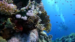 Colorful Fish on Vibrant Coral Reef and diver. Red sea. Egypt stock footage
