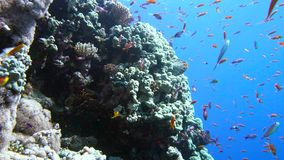 Colorful fish on vibrant coral reef and diver. Red sea. Egypt. 4K stock video