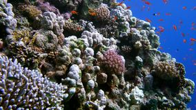 Colorful Fish on Vibrant Coral Reef and diver. Red sea. Egypt stock video footage