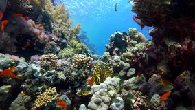 Colorful Fish on Vibrant Coral Reef and diver. Red sea. Egypt. 4K stock video footage