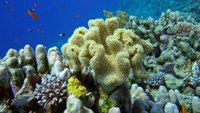 Colorful Fish on Vibrant Coral Reef, Red sea. 4K stock footage