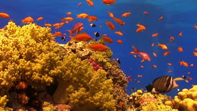 Colorful Fish on Vibrant Coral Reef stock video