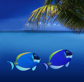 Colorful Fishes. 2 Colorful Tropical Fishes swimming in the Caribbean stock images