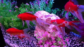 Colorful fishes in aquarium stock video footage