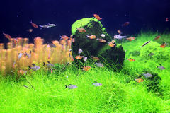 Colorful fishes in aquarium. A green beautiful planted tropical freshwater aquarium with fishes Royalty Free Stock Photos