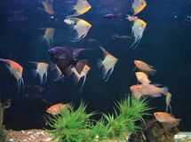 Colorful fishes in aquarium with green plants and ship. stock photo