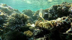 Colorful fishes close up, underwater shooting in Red Sea, slow motion. Colorful fishes swim close up under coral reef, underwater shooting in Red Sea, slow stock footage