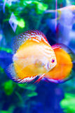 Colorful Fishes in green - Underwater life Royalty Free Stock Image