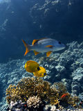 Colorful fishes in the red sea Stock Photos