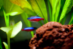Colorful fishes are swimming in the tank. Cardinal Tetra colorful fishes are swimming in the tank stock images