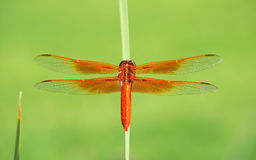 The Colorful Flame Skimmer Dragonfly Stock Photo