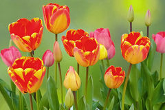 Colorful flamed tulips bloom Royalty Free Stock Photos