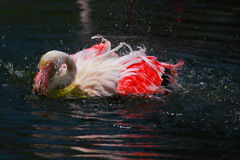 Colorful Flaminggo Stock Images
