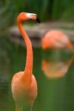 Colorful Flamingo Stock Image