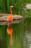 Colorful Flamingo Royalty Free Stock Images