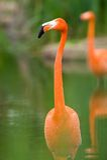 Colorful Flamingo Royalty Free Stock Photos