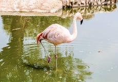 Colorful flamingo bathing Royalty Free Stock Photos