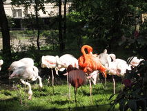 Colorful flamingos on a sunny day at the zoo in Wroclaw. Royalty Free Stock Images