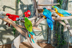 Colorful flock of macaw, sid on a branch.  Royalty Free Stock Images