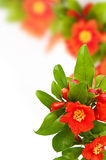 Colorful floral background. Red pomegranate flowers, colorful background Royalty Free Stock Images