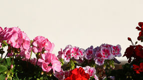 Colorful floreal background. Pink and red flowers in light and shadows isolated against a white background Stock Photography