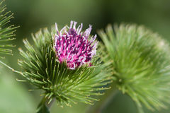 Colorful Flower. Colorful pointy thistle found in a park royalty free stock photography