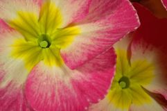 Colorful flower. Close-up of a colorful flower, named primula Stock Photo