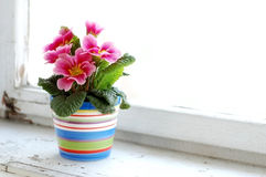 Colorful flower. Photo of colorful flower in flowerpot at window Stock Photo