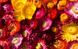 Colorful flower. Red pink and yellow dry flower Royalty Free Stock Photos