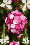 Colorful floral display. Closeup of pink and white flower display Stock Images
