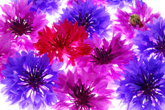 Colorful flower background. A background of colorful flowers in purple blue and pink Royalty Free Stock Image