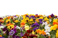 A colorful flower bed. White background Royalty Free Stock Photography