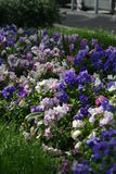 Colorful flower bed. Close up of blooming flowers in colorful flower bed Stock Images