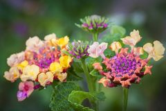Colorful flower blooms. Close up of colorful flower buds and blooms on green leafy stalk stock images