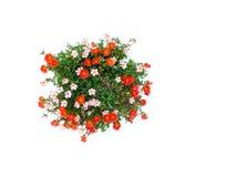 Colorful flower bush isolated white background. Beautiful of colorful flower bush isolated white background Royalty Free Stock Photo
