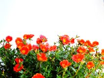 Colorful flower bush isolated white background. Close up of beautiful colorful flower bush isolated white background Stock Photo