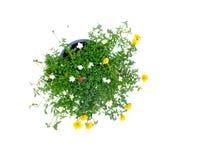 Colorful flower bush isolated white background. Close up of beautiful colorful flower bush isolated white background Royalty Free Stock Image