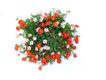 Colorful flower bush isolated white background. Top view of beautiful colorful flower bush isolated white background Stock Photography