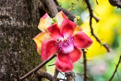Bee on flower of Cannonball tree in Hawaii. Trunk in background. Colorful flower of Cannonball tree couroupita guianensis in Hilo, Hawaii. Bee gathering pollen stock images