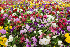 Colorful flower carpet in park - pansies Stock Images