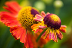 Colorful flower close-up macro photography. A Colorful summer flower close-up macro photography Stock Photography