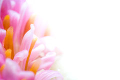 Colorful flower closeup. Royalty Free Stock Image