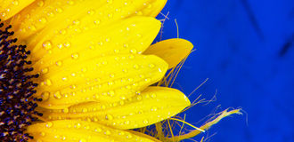 Colorful flower copyspace background . Macro shot of yellow sunflower bloom with water drops Royalty Free Stock Image